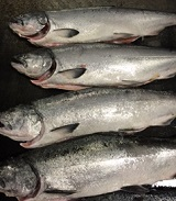 4 whole wild King Salmon